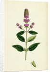 Mentha Pubescens Var. Hircina Blunt-Spiked Mint Var. B. by Anonymous