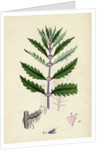 Lycopus Europaeus Water Horehound by Anonymous