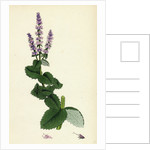 Mentha Rotundifolia Round-Leaved Mint by Anonymous