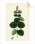 Mentha Alopecuroides Broad-Leaved Horse-Mint by Anonymous