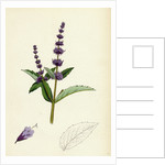 Mentha Viridis Spear-Mint by Anonymous