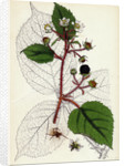 Rubus Glandulosus Glandular-Stemmed Bramble by Anonymous