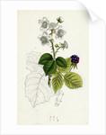 Rubus Corylifolius Hazel-Leaved Bramble by Anonymous