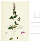 Stachys Arvensis Corn Woundwort by Anonymous