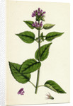 Galeopsis Eu-Tetrahit Var. Bifida Common Hemp-Nettle Var. B. by Anonymous