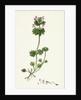 Lamium Amplexicaule Henbit Dead-Nettle by Anonymous