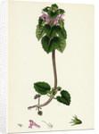 Lamium Purpureum Red Dead-Nettle by Anonymous