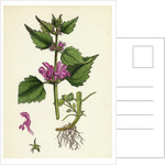 Lamium Maculatum Spotted Dead-Nettle by Anonymous