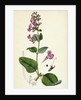 Calamintha Sylvatica Wood Calamint by Anonymous