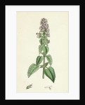 Nepeta Cataria Cat-Mint by Anonymous