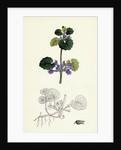 Nepeta Glechoma Ground Ivy by Anonymous