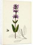 Salvia Clandestina Small-Flowered Clary by Anonymous