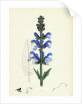 Salvia Pratensis Meadow Clary by Anonymous
