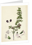 Teucrium Botrys Cut-Leaved Germander by Anonymous