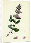 Teucrium Chamaedrys Wall Germander by Anonymous