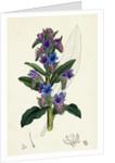 Echium Vulgare Common Viper's-Bugloss by Anonymous