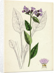 Pulmonaria Officinalis Common Lungwort by Anonymous