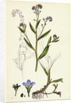 Myosotis Caespitosa Tufted Water Forget-Me-Not by Anonymous