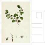 Erodium Maritimum Sea Stork's-Bill by Anonymous