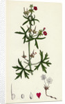 Geranium Dissectum Jagged Leaved Crane's-Bill by Anonymous