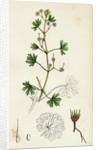 Geranium Pusillum Small-Flowered Crane's-Bill by Anonymous