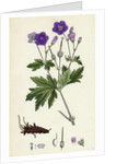 Geranium Sylvaticum Wood Crane's-Bill by Anonymous