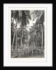 Cocoa-Nut Plantation in Ceylon, Sri Lanka by Anonymous