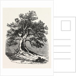 An Old Oak, in Its Decayed State. by Anonymous