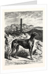 English Greyhounds by Anonymous