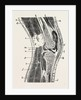 Vertical section of knee-joint by Anonymous