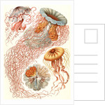 Illustration showing four different types of jellyfish. Discomedusae by Ernst Haeckel