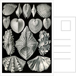 Illustration showing a variety of mollusks. Acephala by Ernst Haeckel