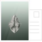 Illustration of mollusk. Acephala by Ernst Haeckel