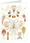 Illustration showing a variety of copopod crustaceans. Copepoda by Ernst Haeckel