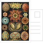 Illustration showing a variety of sea squirts. Ascidiae by Ernst Haeckel