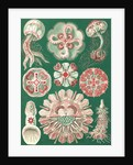 Illustration showing a variety of jellyfish. Discomedusae by Ernst Haeckel