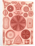 Algae. Diatomea by Ernst Haeckel
