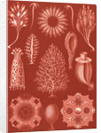 Calcareous sponges. Calcispongiae by Ernst Haeckel