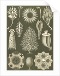 Calcareous sponges. Calcispongiae by Ernst Haeckel