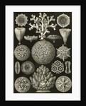 Corals. Hexacoralla by Ernst Haeckel