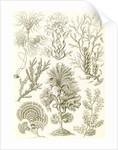 Algae. Fucoideae by Ernst Haeckel