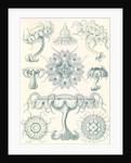 Jellyfishes. Discomedusae by Ernst Haeckel