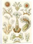 Aquatic invertebrates. Bryozoa by Ernst Haeckel