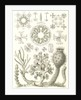 Glass sponges. Hexactinellae by Ernst Haeckel
