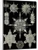 Aquatic animals. Acanthophracta by Ernst Haeckel