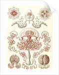 Jellyfishes. Anthomedusae by Ernst Haeckel