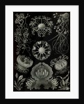 Fungi. Ascomycetes by Ernst Haeckel