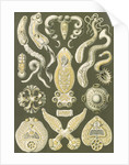 Flatworms. Platodes by Ernst Haeckel