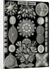Algae. Diatomea by Ernst Haeckel