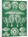 Jellyfish. Discomedusae by Ernst Haeckel